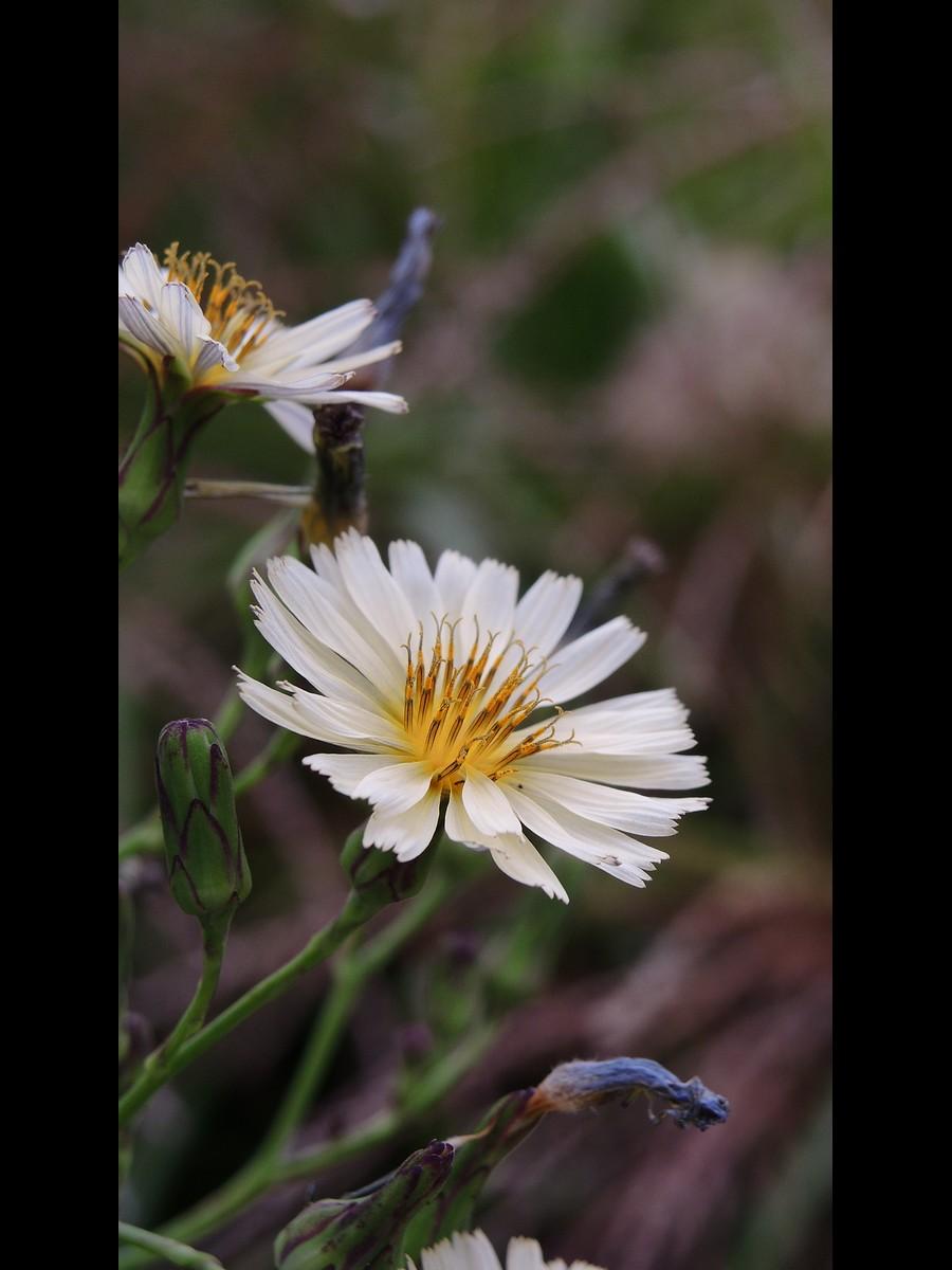アキノノゲシ 頭花