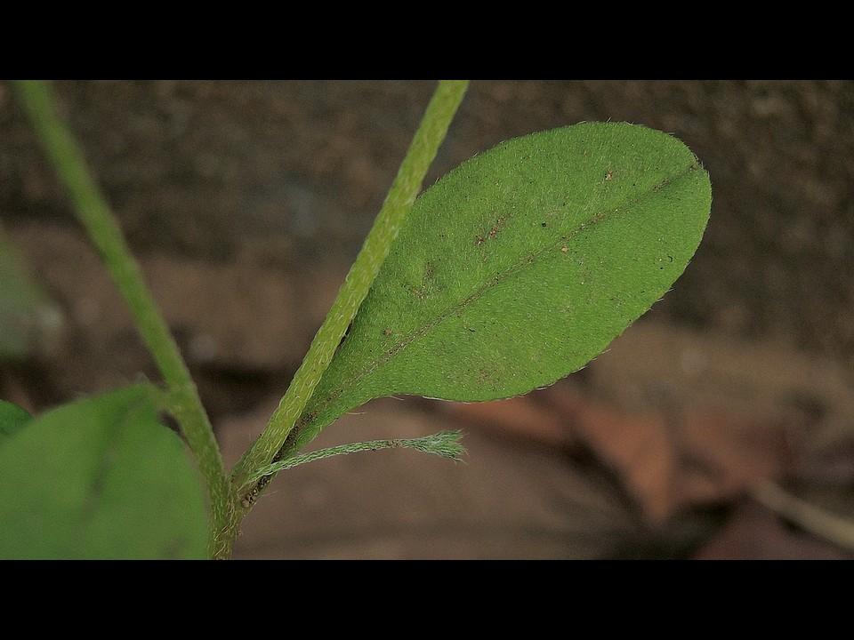 キュウリグサ 葉