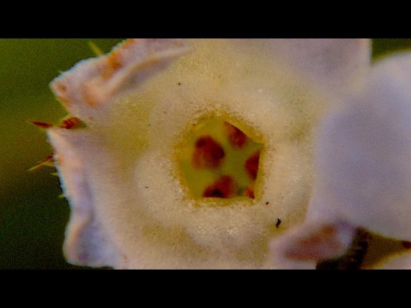 キュウリグサ 花の拡大