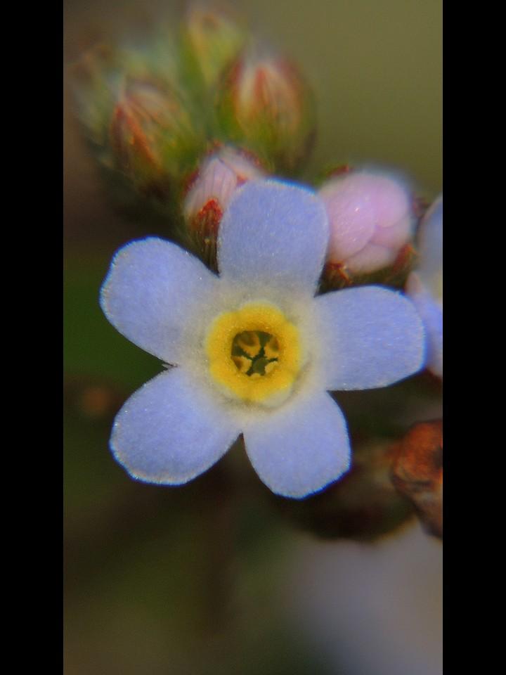 キュウリグサ 花