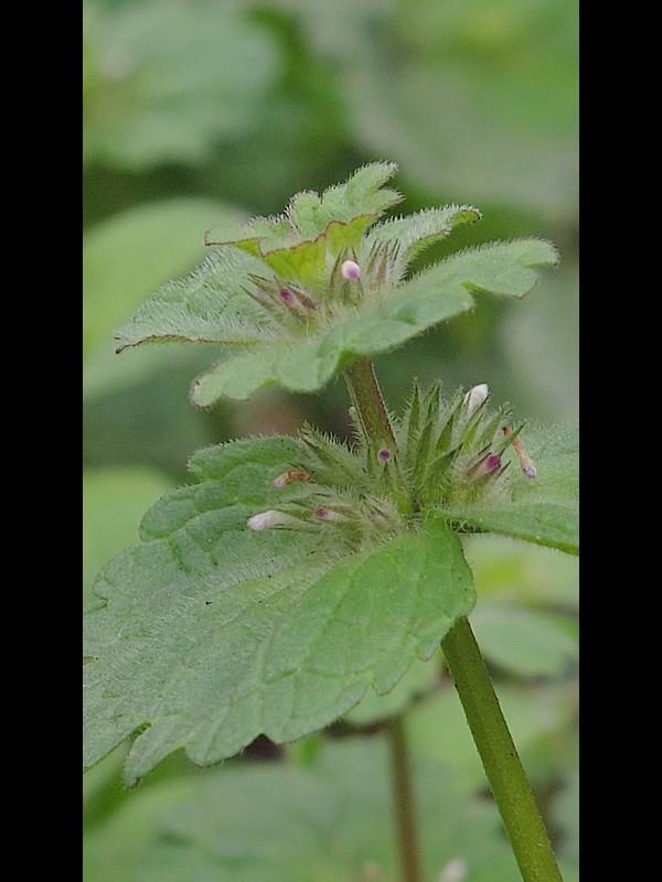 ホトケノザ 閉鎖花で青々とした大きな葉の株