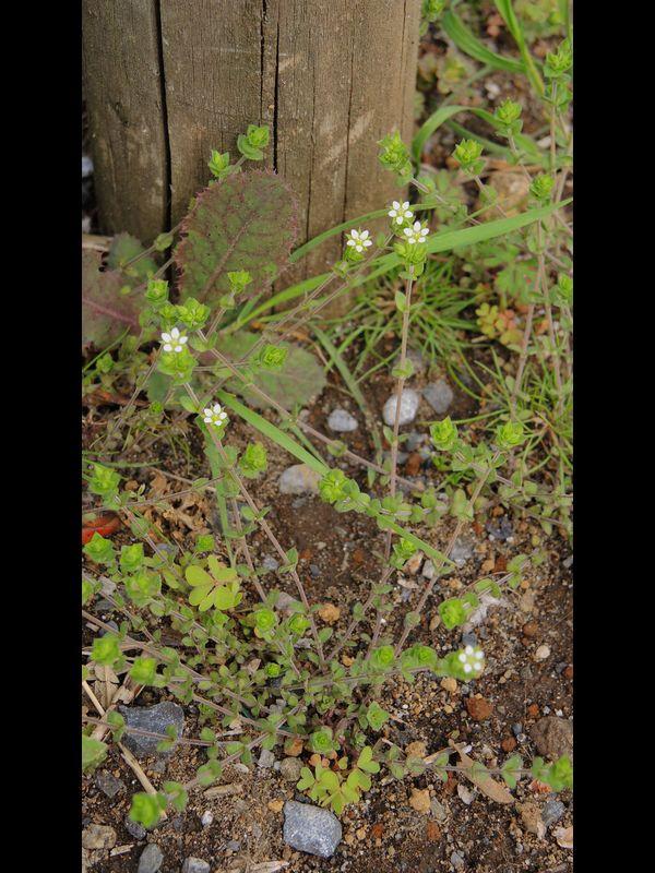 ノミノツヅリ 植え枡の裸地の個体