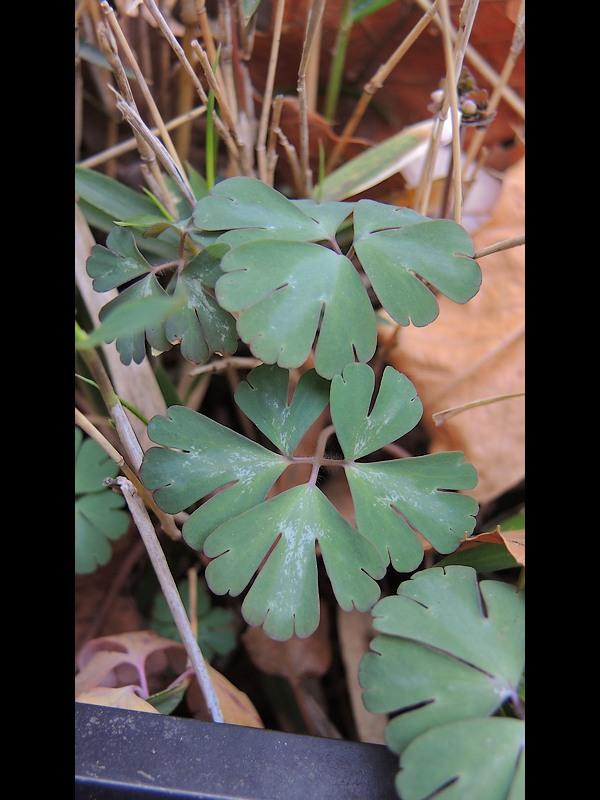 ヒメウズ 葉