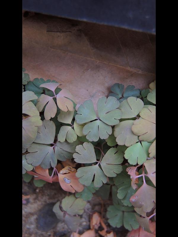 ヒメウズ 若い葉