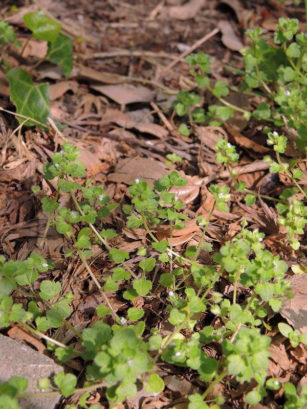 フラサバソウ 枯れ葉の多い地での姿