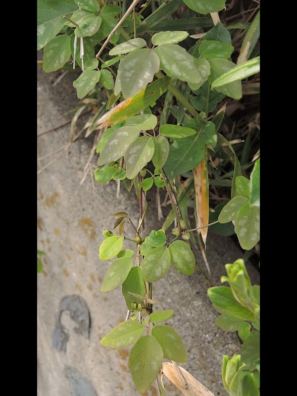 ゴヨウアケビ 色々な枚数の小葉