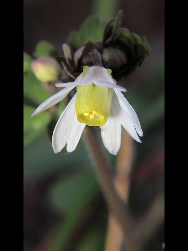 ヒメウズ 花