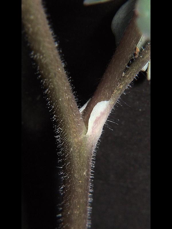 ヒメウズ 茎葉の葉柄基部のひれ