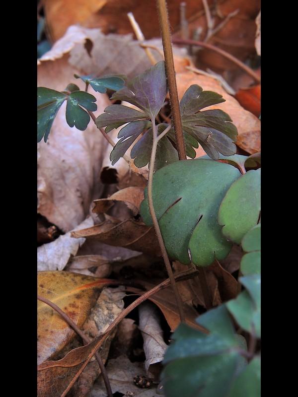 ヒメウズ 根生葉の葉柄と葉裏