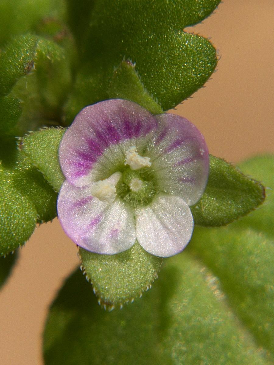 イヌノフグリ 花とシベの拡大