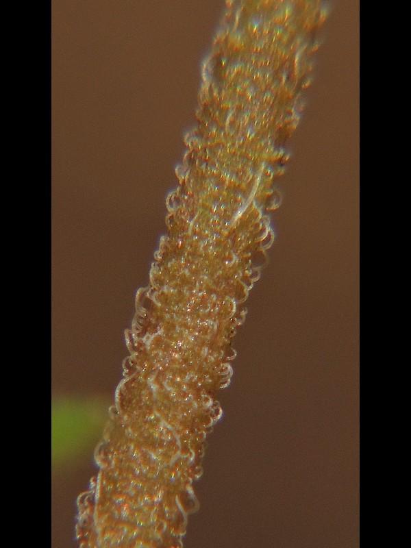 イヌノフグリ 茎の毛の拡大
