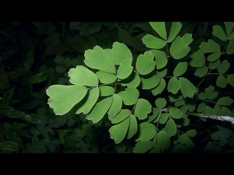 アキカラマツ 葉