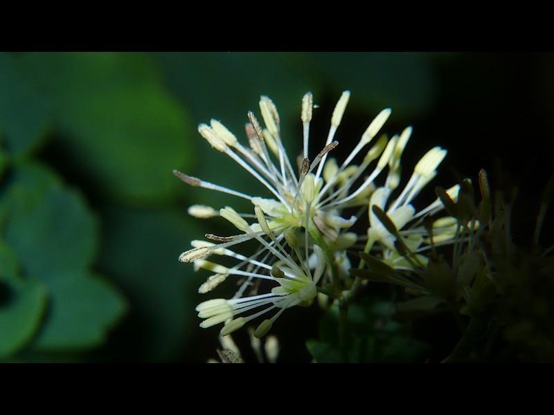 アキカラマツ 花