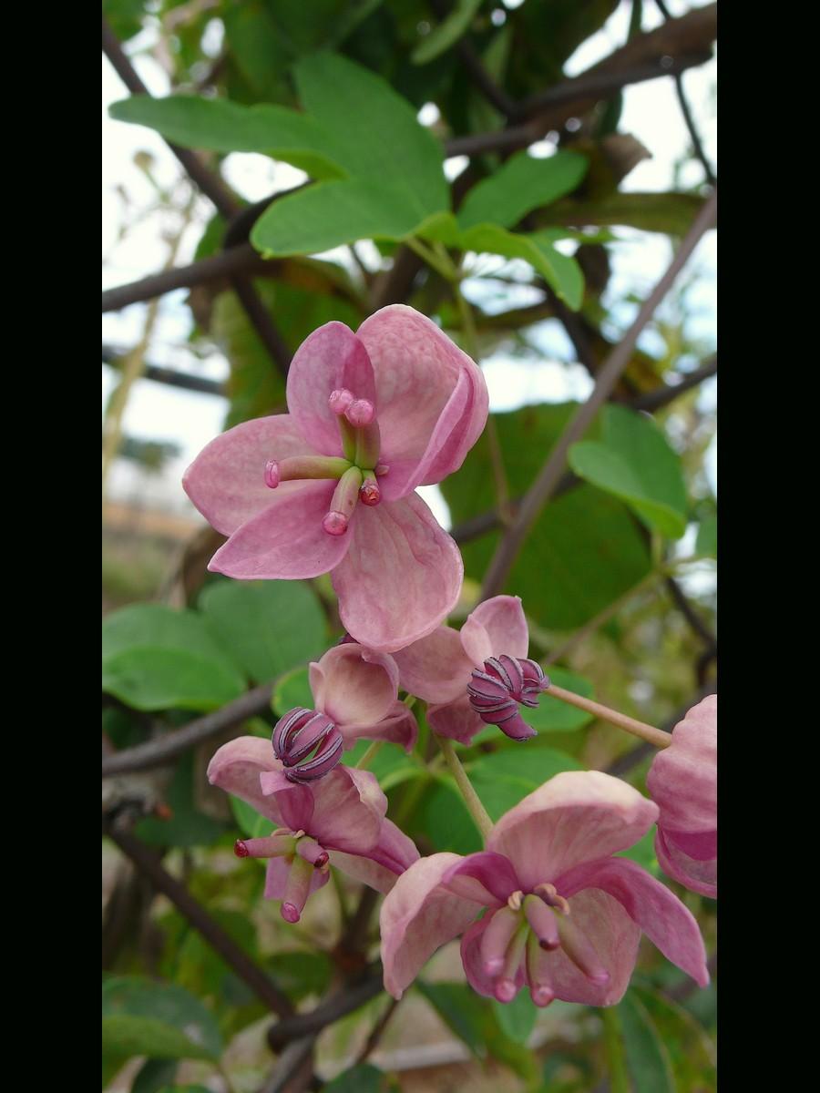アケビ 花弁のある状態の花