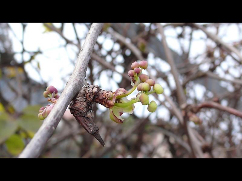 アケビ 冬芽が開いて早速の咲き始め