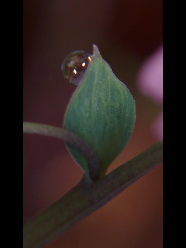 ジロボウエンゴサク 苞