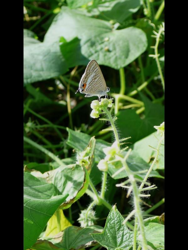 アレチウリ 蝶(ツバメシジミ)