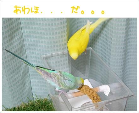 粟穂食べるディジー見つめるぽぴ1-1