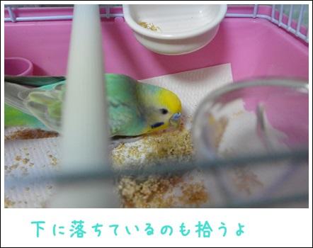 粟穂食べてるよディジー1-1