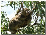 コアラはよく寝る-1-