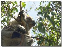 コアラはよく寝る-2-