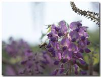 藤にとまるハチ