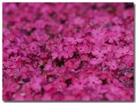 芝桜-1-