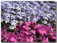 芝桜-3-