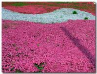 芝桜-4-