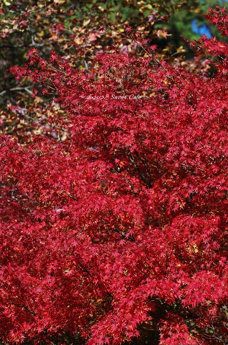 真っ赤なモミジ