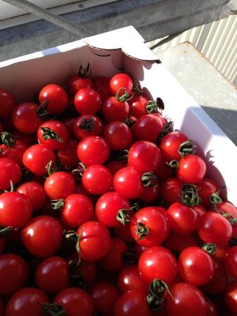 130115トマト。