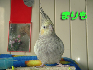 蟹股まりものコピー