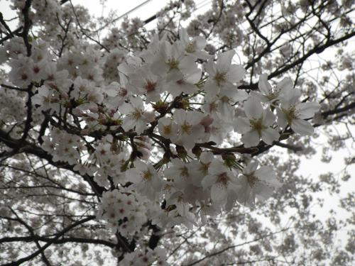 2013 3月24日 桜