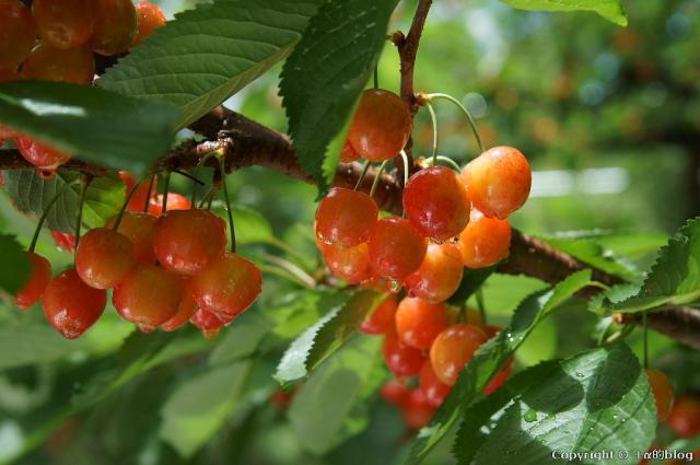 cherry13-05_eip.jpg