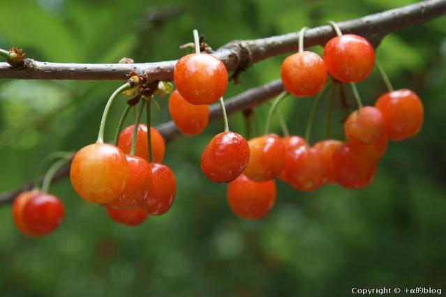cherry13-07_eip.jpg