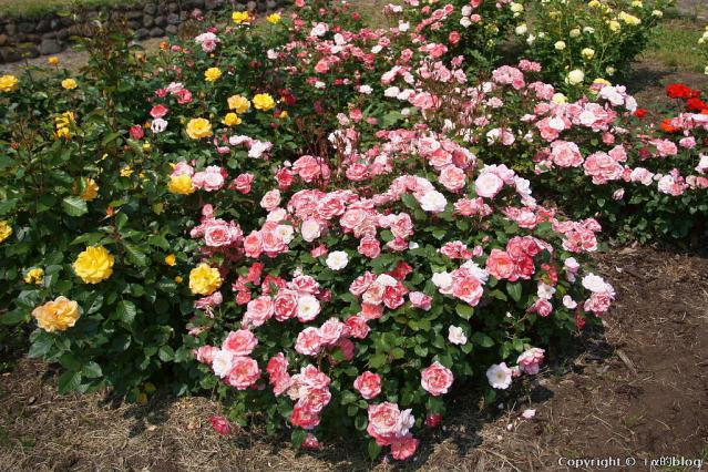 rose12dd_eip.jpg