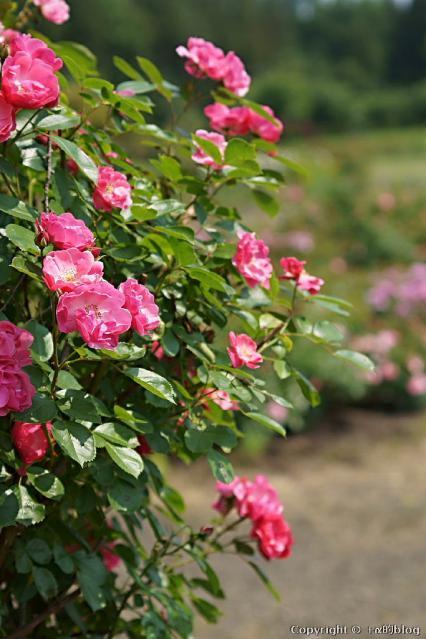 rose12f_eip.jpg