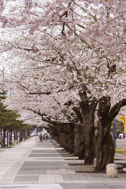 towadasakura13J_eip.jpg