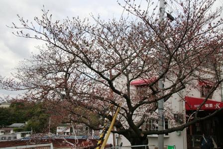 長田の桜2
