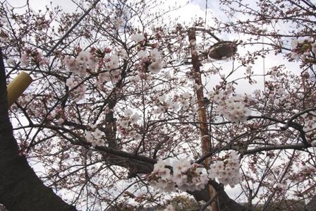 長田の桜1