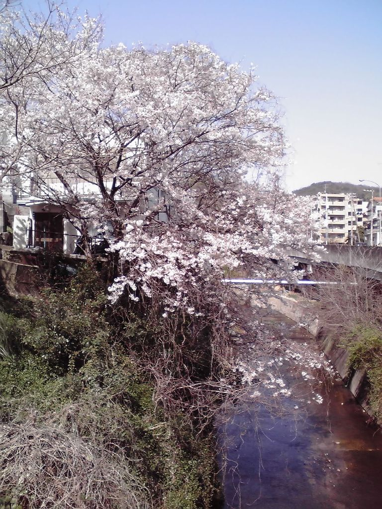 長者の桜 100403
