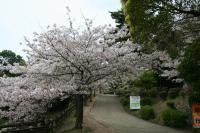 蕪村句碑の桜