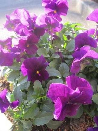 パンジー紫