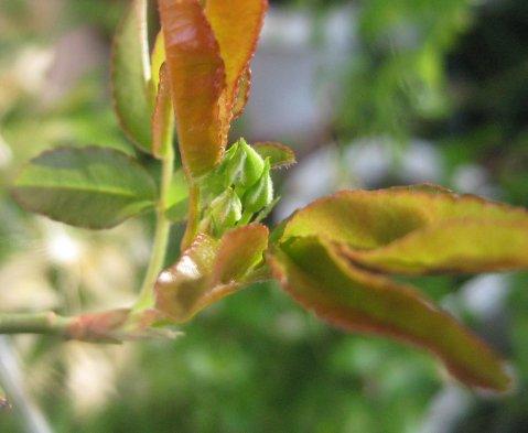 もっこうバラの花芽