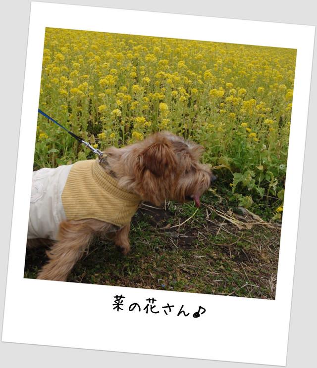 親水公園菜の花