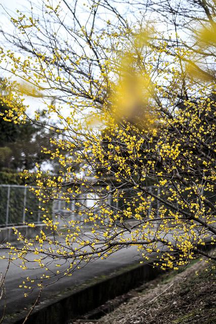 淀江 伯耆古代の丘公園 蝋梅