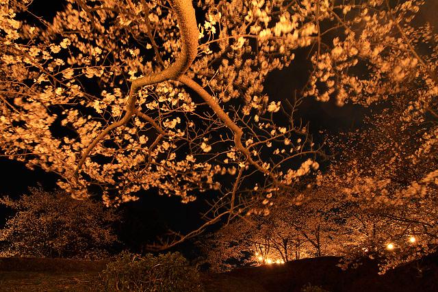 法勝寺 夜桜