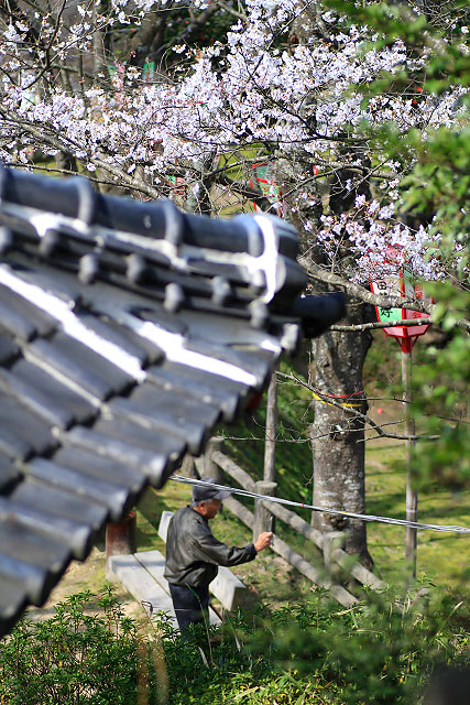 安来公園 サクラ 桜