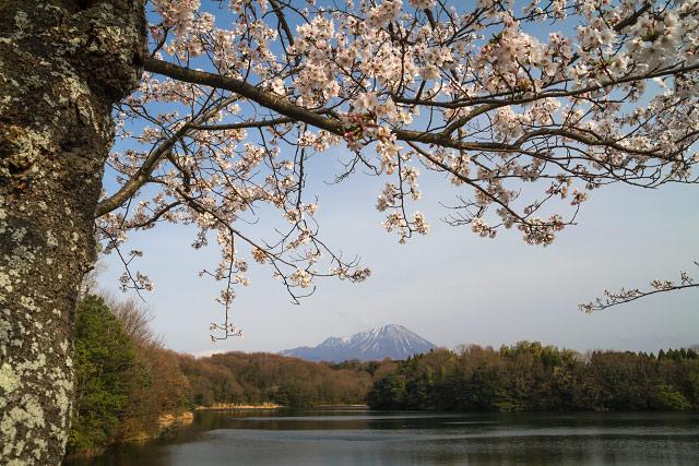 岡成の池 桜 大山