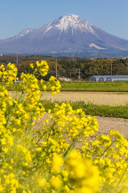 伯耆町 岸本 菜の花 大山